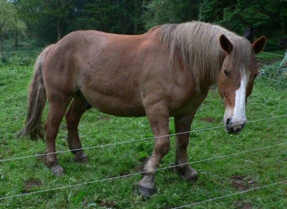 Cheval de trait Breton